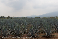 Guadalajara-Tequila-2013-LR-4730 (alison.toon) Tags: blue copyright leaves landscape mexico scenery farm harvest guadalajara jalisco tequila rows plantation growing agave technique pruning josecuervo cuervo tequilatour alisontoon alisontooncom alisontoonphotographer
