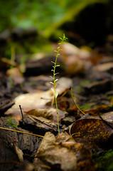 Life from a Log (Kurayba) Tags: park autumn plants plant canada detail fall nature rotting leaves creek leaf log edmonton pentax foliage alberta da ravine growing 1855 preserve wr k5 rotted whitemud smcpda1855mmf3556alii