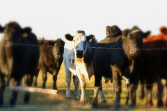 The Usual Suspects (paulette@k) Tags: canada fall nature rural nikon cattle cows farm saskatchewan