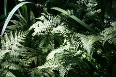 IMG_3382 (bulbinello) Tags: fern woodland garden moss jardin ferns farne garten fougres fougre sousbois mousses varens valmaubrune