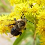 Common Eastern Bumble Bee thumbnail