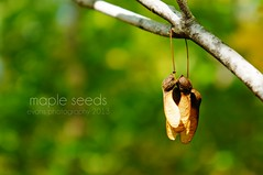 mapleseeds (NJEphotography) Tags: autumn macro green fall maple october branch bokeh seed seeds helicopter