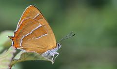 Enjoying the view. (Sandra Standbridge.) Tags: butterfly butterflies enjoyingtheview brownhairstreak sandrastandbridge stilldreamingofsummer