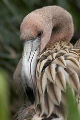 portrait of a juvenille (ucumari photography) Tags: bird sc garden zoo october south flamingo columbia carolina riverbanks 6888 specanimal specanimalphotooftheday ucumariphotography