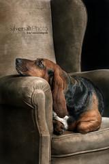 Lola, el descanso (silversaltphoto) Tags: dog chien studio can perro siesta bassethound sombras descanso sadows senosiain d700 silversaltphoto
