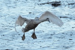 Incoming. (stonefaction) Tags: nature birds river scotland fife wildlife eden guardbridge