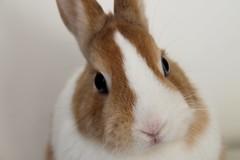 Tina Close-ups (bunsandbows) Tags: pets cute rabbit bunny bunnies animals rabbits