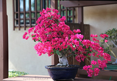 Keep Warm (Gwen Deanne) Tags: canon japanesegarden large bougainvillea bonsai 6d 2013