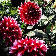 ดอกรักเร่ #flower #flora #phayao