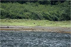 _MG_2939HDRa (markbyzewski) Tags: alaska ugly hdr brownbear grizzlybear mistyfjordsnationalmonument