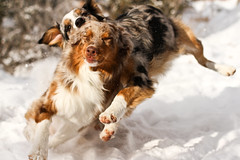 49/52 - Collision! (RocketDog1170) Tags: dog snow action running jett aussie australianshepherd collision bluemerle redmerle 52weeksfordogs vision:outdoor=0704
