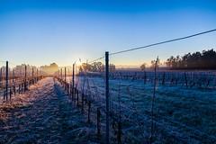 winter fog (Thomas Lhomme) Tags: winter sunset sunshine vineyard