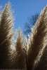 _MG_5150 (keithbcg) Tags: newzealand plants fluffy hawkesbay tangoio taxonomy:kingdom=plantae taxonomy:domain=eukaryota