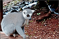 At the Bus Stop ..! (Colink321) Tags: nature animal wildlife smooth busstop lemur ringtailedlemur wildlife