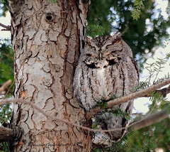 Petit Duc maculé - Eastern-screech Owl (Monique Coulombe) Tags: owl hibou easternscreechowl megascopsasio fauneduquébec petitducmaculé oiseauxduquébec oiseauxdhiver birdsofquebec quebecwildlife