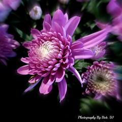 Winter Chrysanthemum (Bob.W) Tags: ngc chrysanthemum mygearandme mygearandmepremium mygearandmebronze mygearandmesilver mygearandmegold