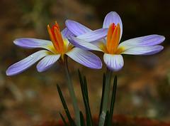 Crocus aerius flower opening (Rainbirder) Tags: rainbirder crocusaerius