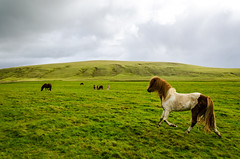 Icelandic horses (fede_gen88) Tags: horses horse green nature grass animal animals countryside iceland nikon europe day cloudy sland icelandic d5100