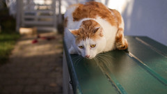 Willow - spotted something (No_Water) Tags: red orange brown white cute cat ginger willow