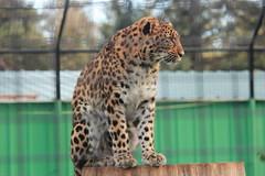 Amur Leopard (Chicago John) Tags: world park cats oregon great junction leopard cave amur amurleopard cavejunction greatcatsworldpark {vision}:{outdoor}=0717 {vision}:{text}=0532 {vision}:{plant}=0569