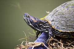 turtle head (bradleygee) Tags: eye water face texas head turtle shell southpadreislandbirdingandnaturecenter