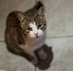 Shira (wpt1967) Tags: cat shira katze blick canon50mm guckguck eos1100d wpt1967