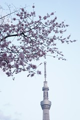 DSC02452 (Zengame) Tags: zeiss t tokyo sony  sakura cherryblossoms  asakusa alpha  sonnar alpha7 7  skytree   tokyoskytree  sonnart1855