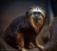 Sitting Pretty (Steve Wilson - over 8 million views Thanks !!) Tags: uk greatbritain brazil portrait england nature animal america mammal gold zoo monkey golden miniature amazon nikon rainforest cheshire britain wildlife south great lion conservation chester tropical captive primate headed captivity tamarin upton chesterzoo liontamarin d7000 caughall nikond7000