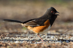 Eastern Towhee by Steve Gifford (Steve Gifford - IN) Tags: county nature photo natural eagle wildlife steve picture indiana photograph area steven society eastern slough evansville audubon towhee gifford ias haubstadt vanderburgh