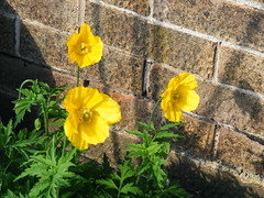 YELLOW POPPYS IN THE GARDEN AT %$ WIM THE GULAG BRANSHOLME IN KINGSTON upon HULL THE CITY OF CULTURE IN 2017 (zxbill55) Tags: yellow wall three day sunny kingston wim hull gulag poppys bransholme