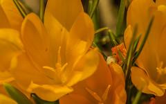 yellow crocus (TB 5161) Tags: plant flower macro yellow norway sony natur crocus bergen hordaland krokus sonyslta58