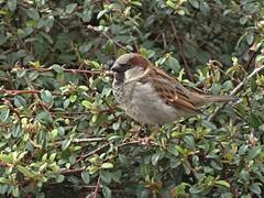 Shagger (Bricheno) Tags: bird moulin scotland escocia sparrow housesparrow szkocja pitlochry schottland scozia cosse  esccia   bricheno scoia