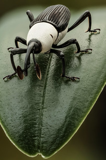 Black and white weevil (frontal)