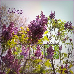 Lilac Collage (MissyPenny) Tags: flowers spring perfume purple lilac fragrant buckscounty lilacs southeasternpa bristolpennsylvania