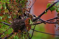 Cardellini -  (Giovanni Santostefano) Tags: love primavera spring goldfinch   cardellino
