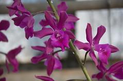 Epicattleya Voilà (douneika) Tags: orchid orchidaceae orquidea orchidee voilà orchidea epicattleya