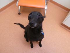 Freddie (Rayya The Vet) Tags: vet canine facebook dogpet pannus eyecheck whippetcross bordercolliercross