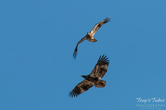 Juvenile Bald Eagle mid-air play sequence - 2 of 7