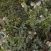 branching phacelia, Phacelia ramosissima var. subglabra