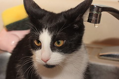 Crazy Cat (catherine4077) Tags: blackandwhite pet cat crazy sink pampered
