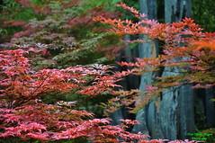 L phong (Ct ng) Tags: autumn winter plant tree leaf spring l mapleleaf       thu               xun cy ng  mang maxun mathu l thcvt mah lphong