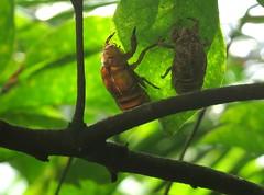 Cicada sloughs, Xiamen Botanical Garden, Xiamen, China, June 2014 (Judith B. Gandy) Tags: china gardens insects xiamen prc botanicalgardens cicadas invertebrates amoy xiamenuniversity hemiptera cicadaslough cicadaskins xiamenbotanicalgarden