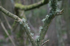 Eikenmos - Oakmoss (aaronmeijer2) Tags: nature animals canon photography eos wildlife castricum duinreservaat