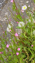 (nofrills) Tags: pink flowers plants plant flower green floral weeds weed flora seed dandelion seeds urbannature roadside