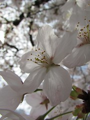 Flowers #482 (tt64jp) Tags: plants white plant flower color colour nature floral fleur colors japan cherry japanese spring flora blossom flor bloom   flowering sakura  blume   flore kiryu              yoshinocherry