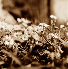 Vinaccia (Claudio Taras) Tags: shadow bw flower 6x6 film bokeh natura claudio toned biancoenero controluce trier taras streetshot foma contrasto fomapan id11 rolleiflex35f