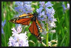 IMG_1940 Half Nelson 4-24-16 (arkansas traveler) Tags: flowers nature zoom bokeh butterflies telephoto hyacinth monarchbutterfly bokehlicious naturewatcher