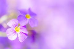 Lila Bltentraum (Photo-Passion.net) Tags: natur pflanze rosa lila gelb makroaufnahme blume makro naturfotografie makrofotografie