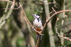 Woodpecker  4 (Vinny Burns) Tags: england bird canon eos woodpecker unitedkingdom gb 2016 ticknall calkeabbey ef400mmf56lusm 5dmkiii 5dmk3 5d3 5dmarkiii vinnyburns