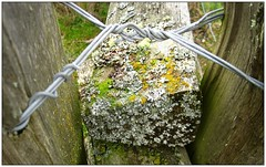 Stuck in the Middle (CanMan90) Tags: old closeup canon fence wooden moss wire britishcolumbia victoria vancouverisland lichen friday pointshoot islandviewbeach sd1200is